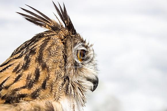Eagle Owl Headshot in Profile