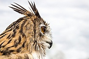 Eagle Owl Headshot in Profile