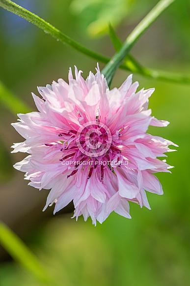 Cornflower or Bachelor Button Wildflower