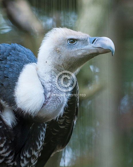ruppells griffin vulture