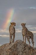 Cheetahs under the Rainbow