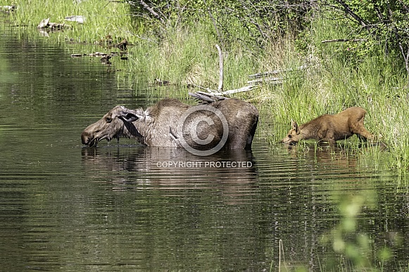 Cow Moose with her New Calf