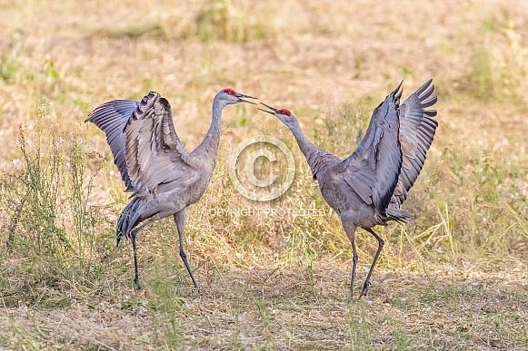 Sandhill Crane Mated Pair Dancing
