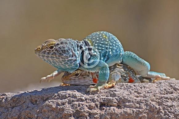 Collared Lizard Pair