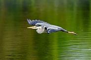 A Grey Heron in flight.