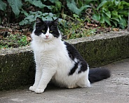 Longhaired Tuxedo Cat Black and White