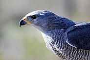 Grey Hawk