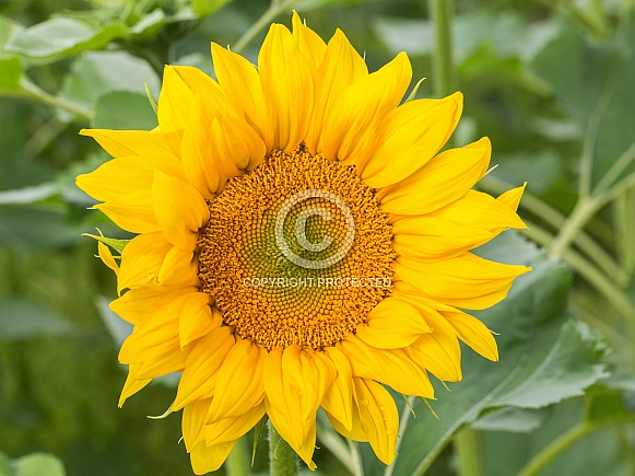 Large Yellow Sunflower in Bloom