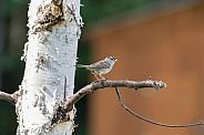 White-crowned Sparrow in a Birch Tree