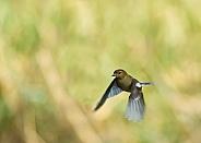 European Greenfinch in Flight (female)