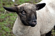 Hampshire Down Lamb