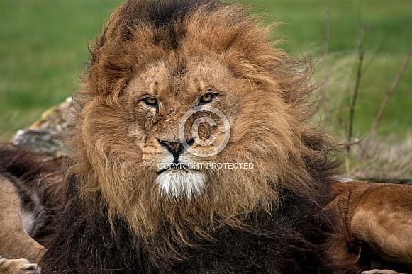 African Lion - close up
