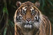 Sumatran Tiger Face Shot Front On