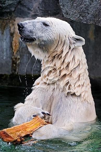 Polard Bear