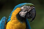 Blue and Gold Macaw Side Profile