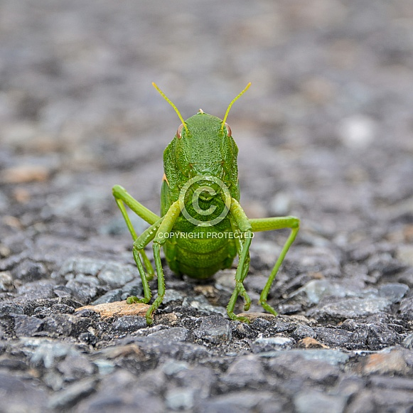 Green Bladder Grasshopper