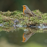 The European robin (Erithacus rubecula