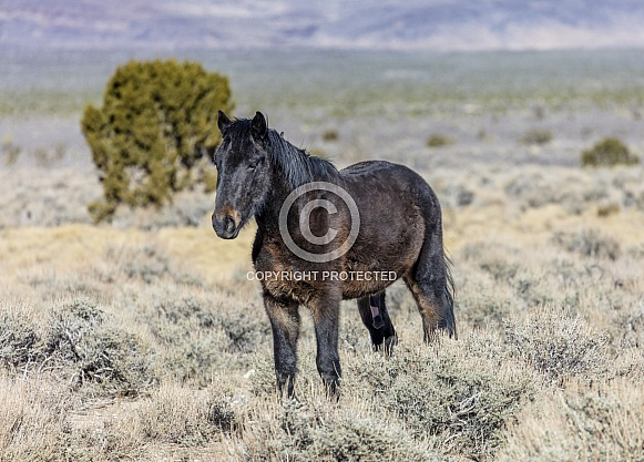 Nevada wild horse in the desert
