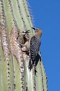 Pair of Cactus Wrens and Saguaro Nest