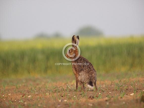 European Brown Hares