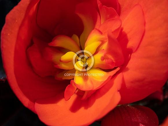 Fire Orange Begonia Macro