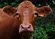 Simmental Cattle - Cow