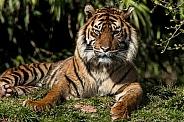 Sumatran Tiger Lying Down In Sunshine