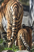 Amur Tiger mother and cub