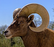 Big Horn Sheep Ram Portrait