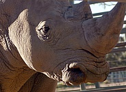 White Rhino profile