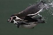 Humboldt Penguin Swimming Underwater