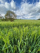 Agricultural land with a crop of barley - England