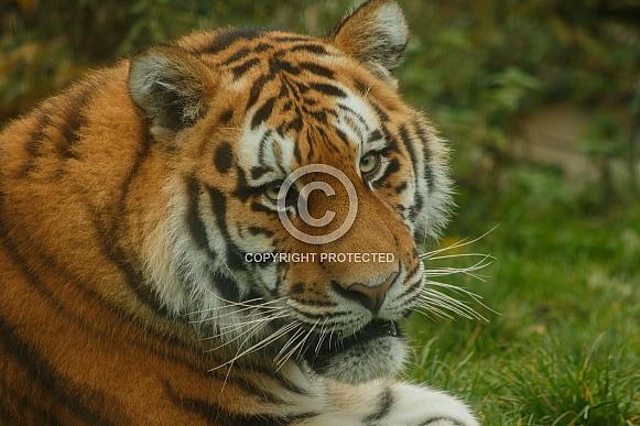 Amur Tiger Looking Over Shoulder At Camera