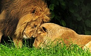 Loving Asiatic Lion