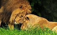 Loving Asiatic Lion