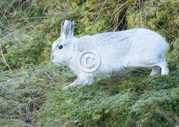 Mountain Hare on the Move