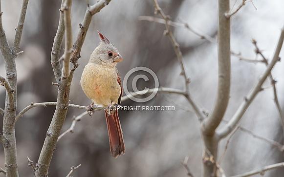 Female Desert Cardinal