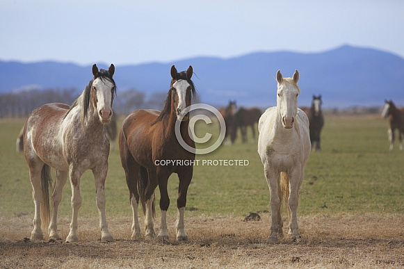 Wild Ranch Horses