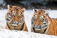 Pair of Amur Tigers