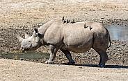 Female Black Rhino