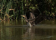 Juvenile Cormorant Taking Off