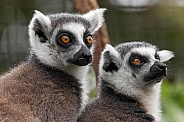 Two Ring Tailed Lemurs Close Up Head Shots