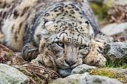 Snow Leopard Resting