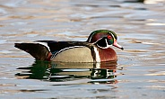 Male wood duck on the pond surface