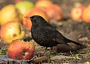 Common Blackbird (male)