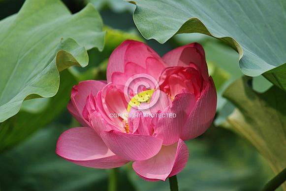 Pink Lotus Flower (Nelumbo nucifera)