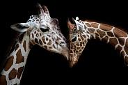 Giraffes head to head