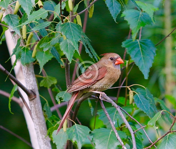 North American Cardinal