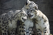 Family Bonding. Snow Leopards
