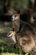 Swamp Wallabies.